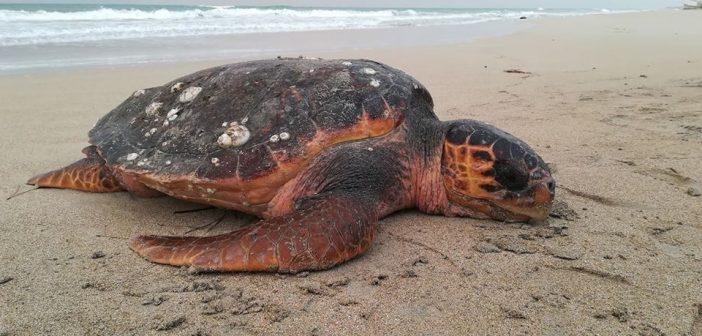 Monopoli: Travis, la tartaruga marina, non ce l'ha fatta
