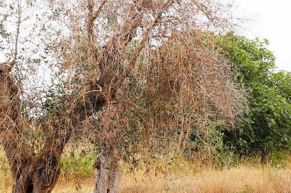 Xylella fastidiosa: alla camera i produttori olivicoli allineati al mondo scientifico nel chiedere interventi immediati ed organici
