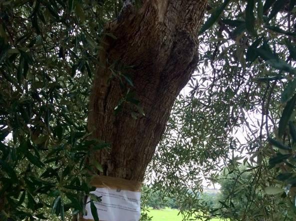 MONOPOLI Xylella, il sequestro dell'ulivo infetto non esclude l'eradicazione