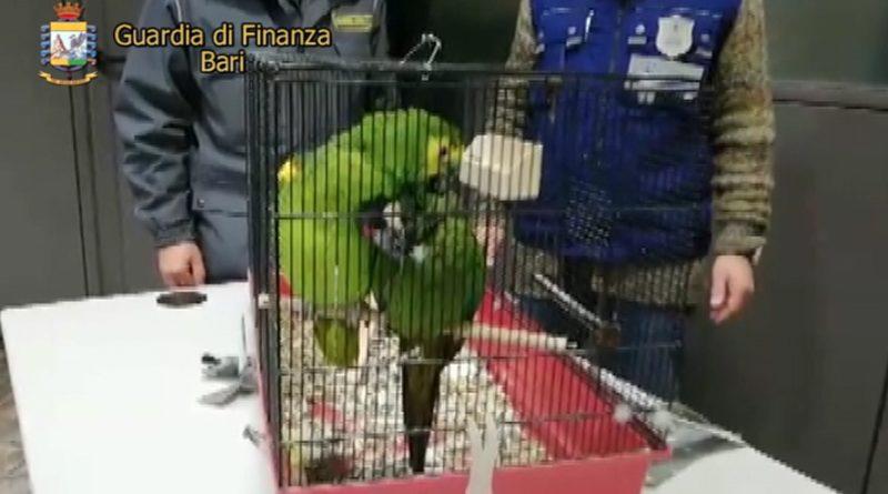 BARI La Finanza sequestra due pappagalli vivi ad un albanese